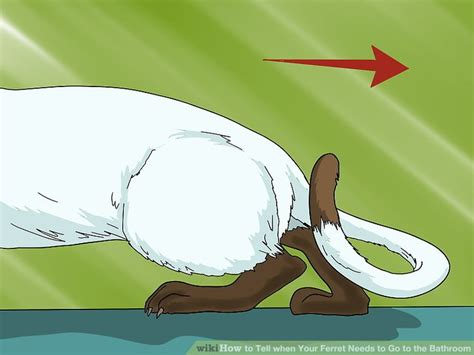 how to your to go to the bathroom how to tell when your ferret needs to go to the bathroom 5 steps