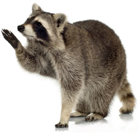 how to get rid of a raccoon in your backyard pest control in vancouver richmond north vancouver and