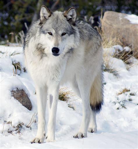Northwestern Search Northwestern Wolf