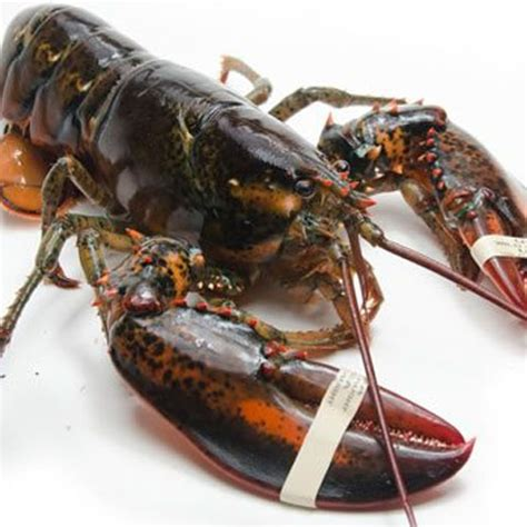 Harga Bibit Udang Lobster Air Tawar jual lobster air laut tawar harga termurah agromaret