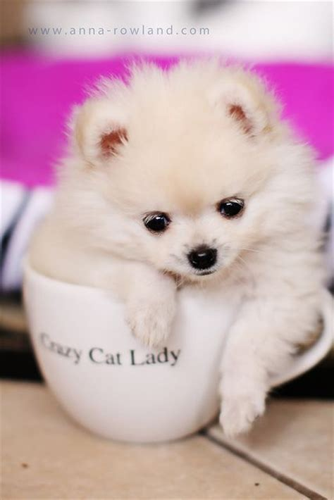 pomeranian cat 1000 images about prancing pomeranians on pomeranian teacup