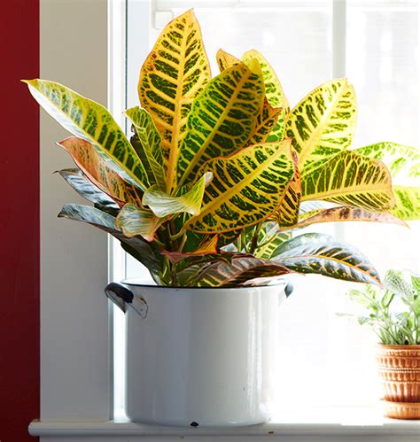 easy to grow indoor plants easy to grow houseplants with colorful leaves costa farms