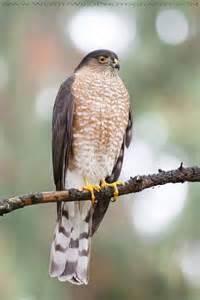 hawks on pinterest