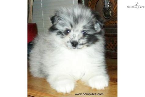 blue merle parti pomeranian the gallery for gt parti merle pomeranian