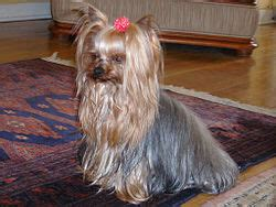 yorkie haircuts for a silky coat yorkshire terrier wikip 233 dia