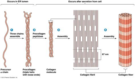 Collagen Biolo fibrillar collagens
