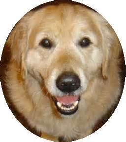 golden retriever rescue south australia sydney pet rescue adoption inc links