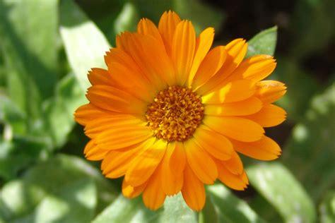 fiore calendula calendula kuhblume venere e adone canova tiziano