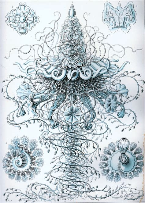 the and science of ernst haeckel multilingual edition books siphonophore