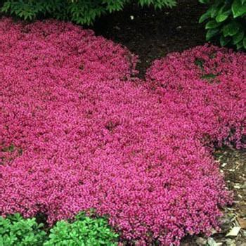 Bibit Benih Seeds Creeping Thyme For Ground Cover creeping thyme seed thymus serpyllum magic carpet ground cover seeds