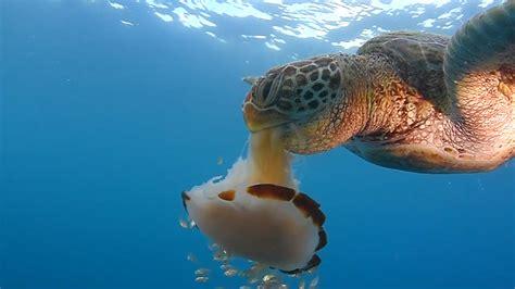 Turtle Sea see a sea turtle devour a jellyfish like spaghetti