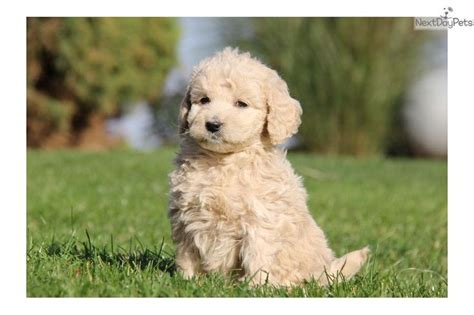 mini doodle puppies for sale uk meet a goldendoodle puppy for sale for 1 150
