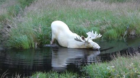 white in swedish extraordinary white moose takes a dip in a swedish lake