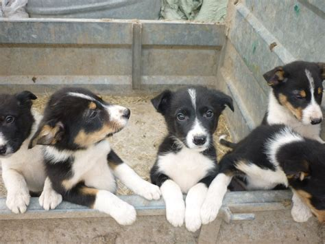 border collie puppies for sale in ohio smooth collie puppies for sale in ohio breeds picture