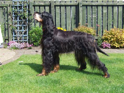 dog in the backyard gordon setter dog in the yard photo and wallpaper beautiful gordon setter dog in the