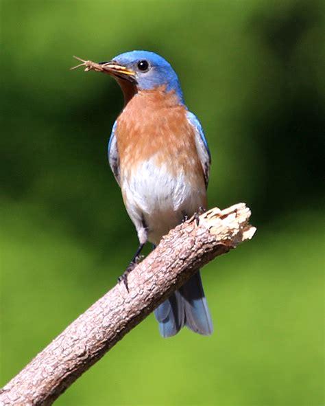 bluebirds in new england birds of new england com