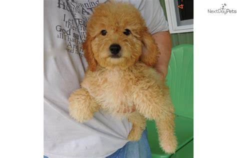 doodle puppies indiana goldendoodle puppy for sale near south bend michiana