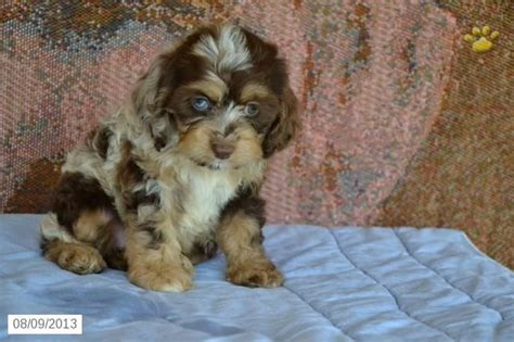 cavapoo puppies ohio discover and save creative ideas