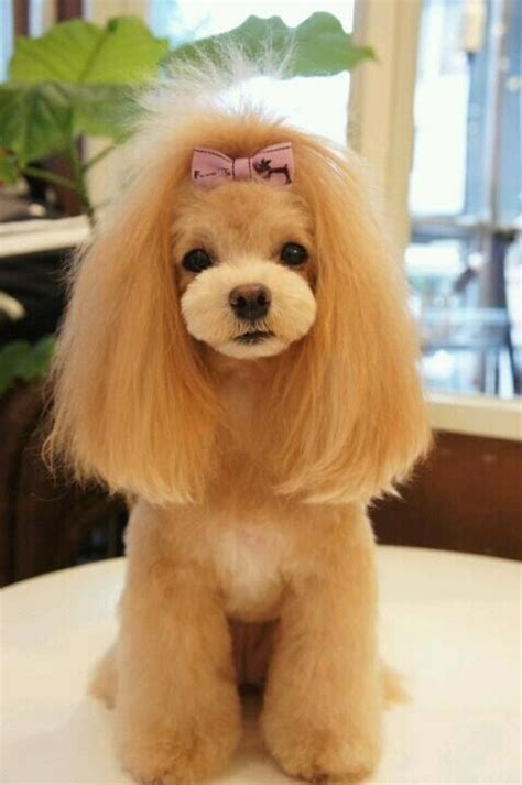 haircutsfordogs poodlemix 32 best cool grooming cuts images on pinterest standard