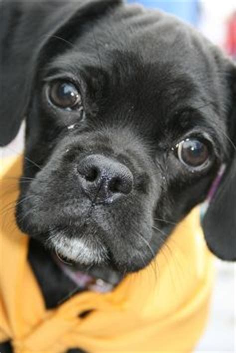 cocker pug puppies 1000 images about dogs on pug pug breed and