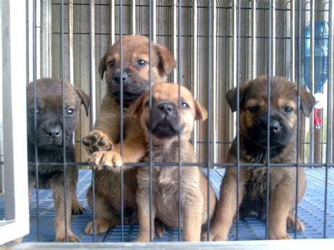 rottweiler mastiff cross puppies for sale yothan s ads from selangor klang malaysia yothan s adpost
