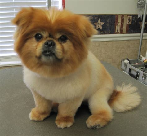 what does a shih tzu pomeranian look like pomeranian shih tzu mix hair cuts shiranian pomeranian shihtzu mix must dogs
