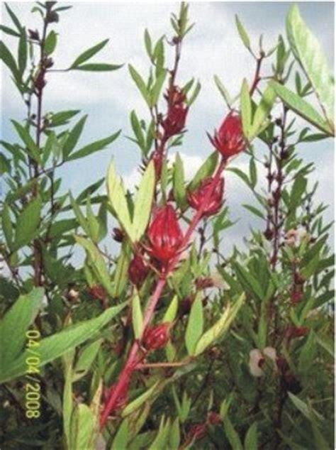 roselainfo mengenal tanaman rosela