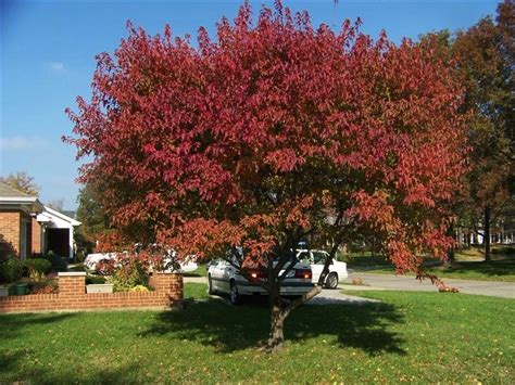 flame amur maple wilson nurseries