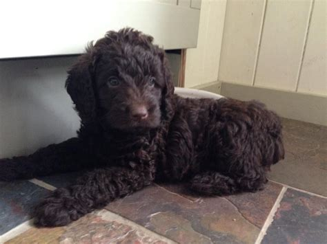 mini labradoodle puppies for sale mini labradoodle puppies for sale bury st edmunds suffolk pets4homes