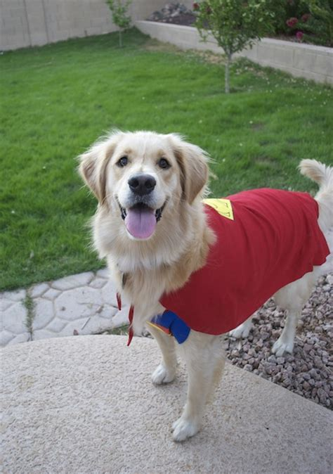 golden retriever costume photos i golden retrievers