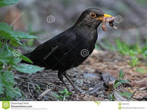blackbird eating worm stock image image 30924381