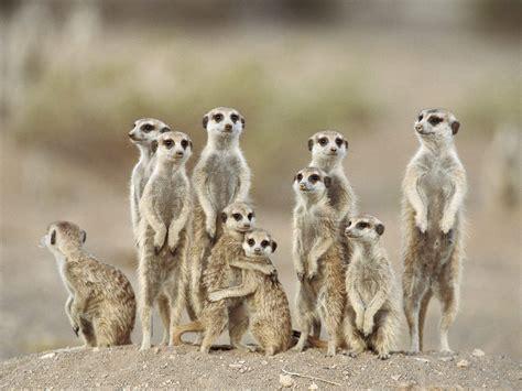 meerkats wallpapers fun animals wiki  pictures