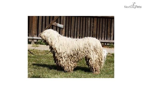 komondor puppies for sale near me komondor puppy for sale near budapest hungary 2f831c89 3971