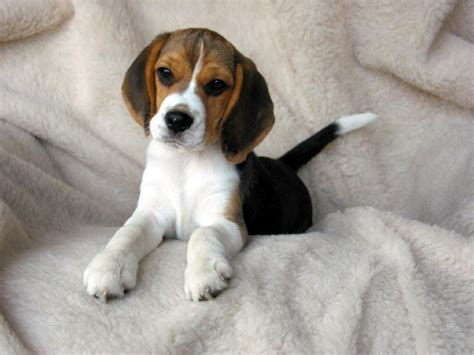 cost of beagle puppies how much does a beagle puppy cost 52 images beagle puppy jpg 1 comment beagle