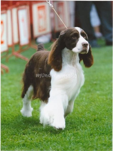 Imagenes De English Springer Spaniel | fotos de english springer spaniel perros mundoanimalia com