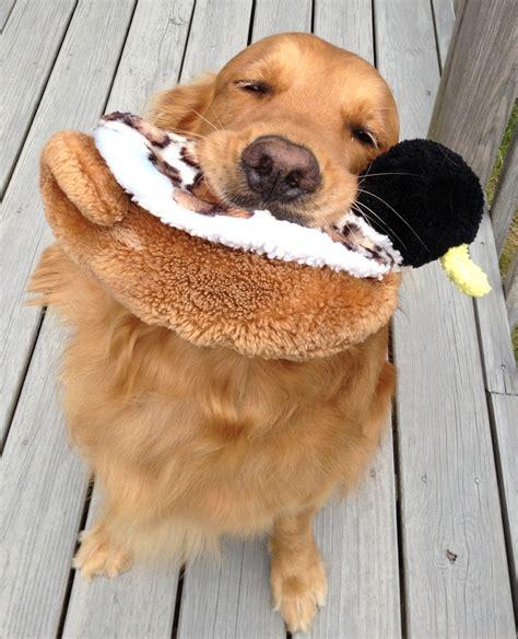 golden retriever adoption bay area adopt a golden retriever nh dogs in our photo