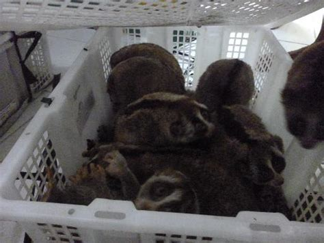 hundreds  rare primates seized  indonesia