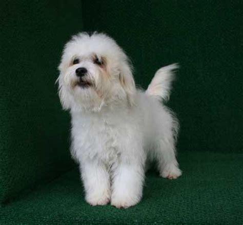 havamalt puppies havamalt information pictures reviews and q a greatdogsite