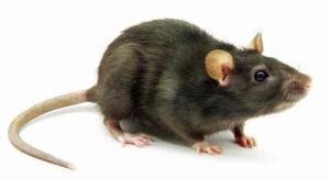 Jual Racun Tikus Petrokum Surabaya jual racun tikus denpasar 085200880480 jual racun