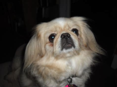 yorkie pekingese puppies pekingese puppies for sale craigslist breeds picture