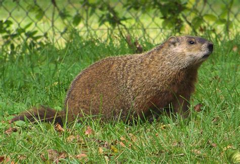Common Backyard Animals by Groundhog The Of Animals