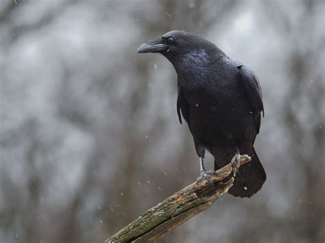 fascinating facts about ravens farmers almanac