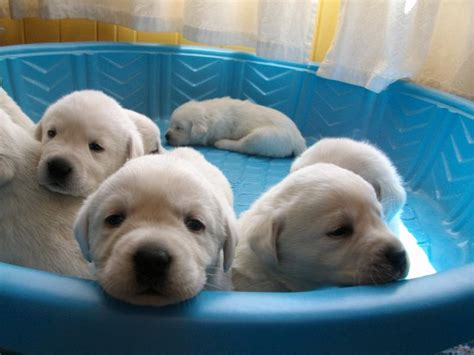 yellow lab puppies for sale in ny white labrador retriever and white labrador retrievers puppies snow white
