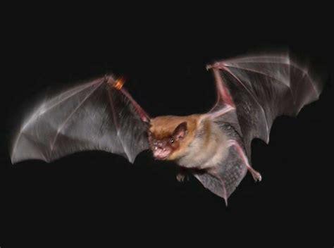 le pipistrelo il volo pipistrello le scienze