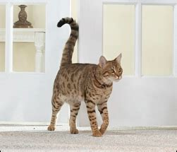 why do cats swing their tails cat tail language ready for pets