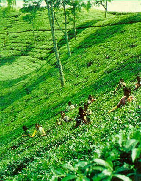 nature sylhet tea garden beauty  nature