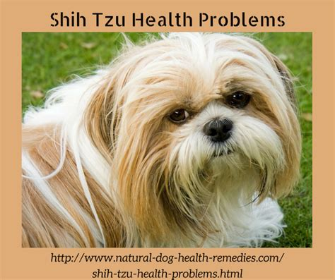 shih tzu common health problems shih tzu health problems