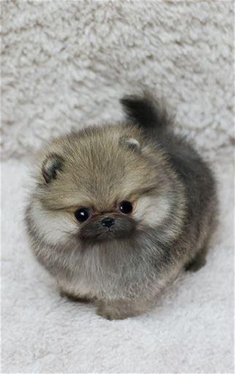 where can i buy a teacup pomeranian puppy 1000 ideas about teacup pomeranian puppy on teacup pomeranian pomeranian