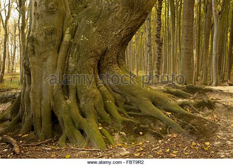 nienhagen germany trees nienhagen wood stock photos nienhagen wood stock images
