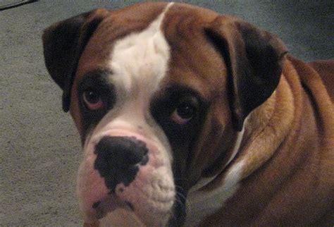 boxer puppies washington state washington state st bernards
